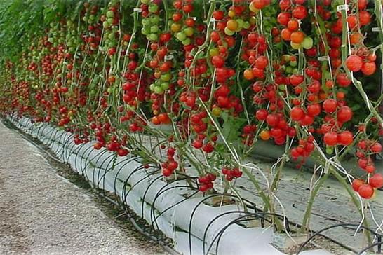 tomates en hidroponico